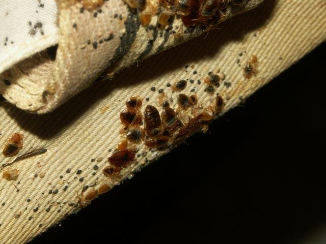 Клопы и их личинки