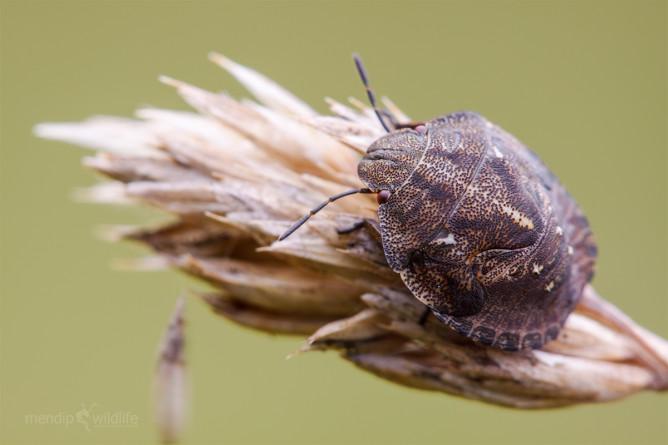 Клоп-черепашка на пшенице