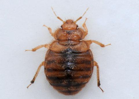 Hesperocimex coloradensis