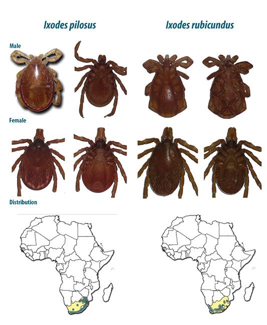 Иксодовые африканские клещи