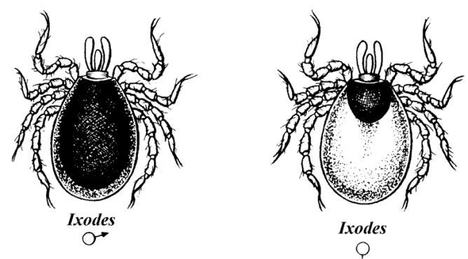 Иксодовые клещи