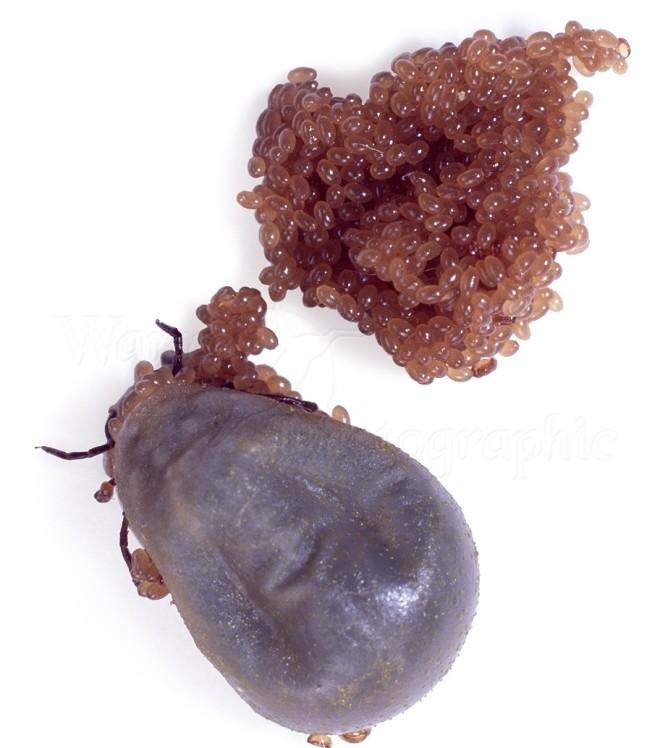 Яйца и самка клеща