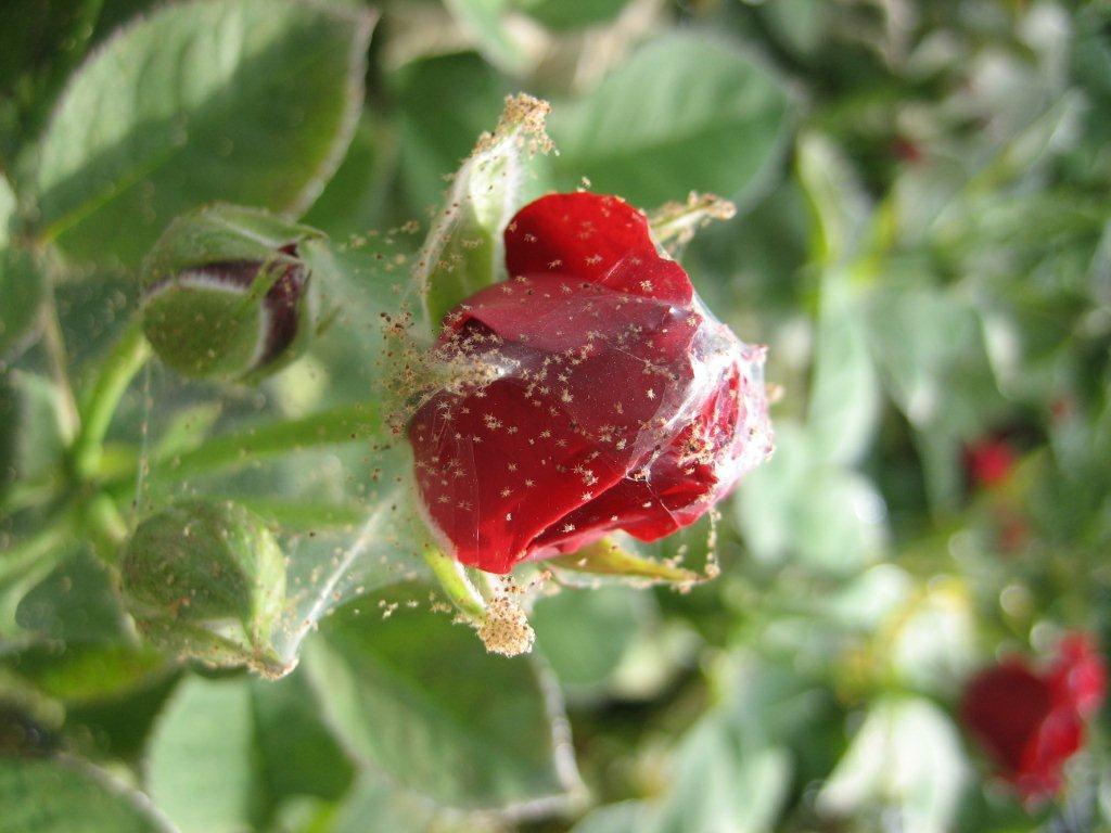Как спасти домашнюю розу от паутинного клеща в домашних условиях