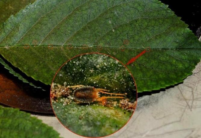 Красный клещ на листе
