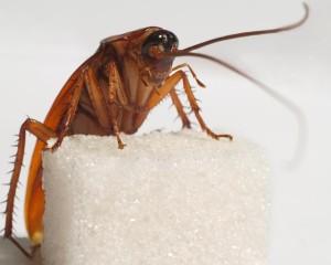 Домашний таракан