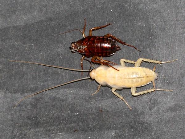 Белый таракан линяет