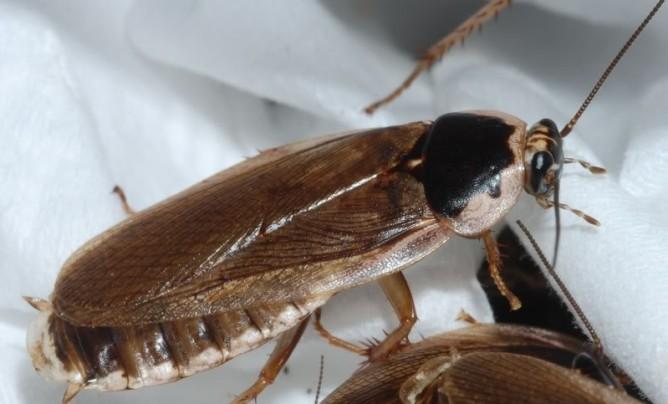 Вид летающего таракана