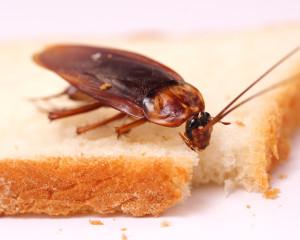 Таракан ест
