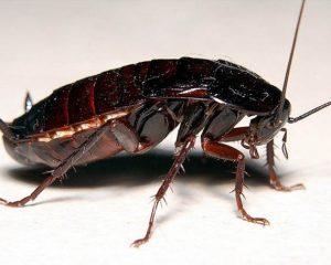 Большой таракан
