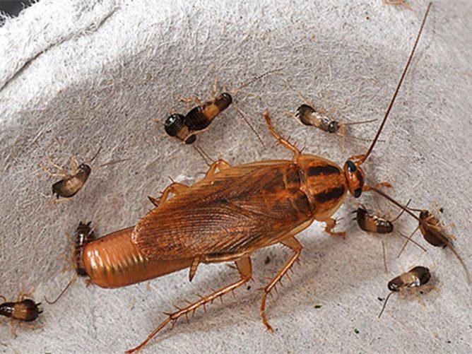 Потомство тараканов