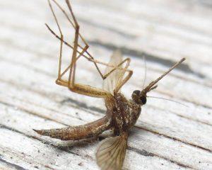 Дохлый комар