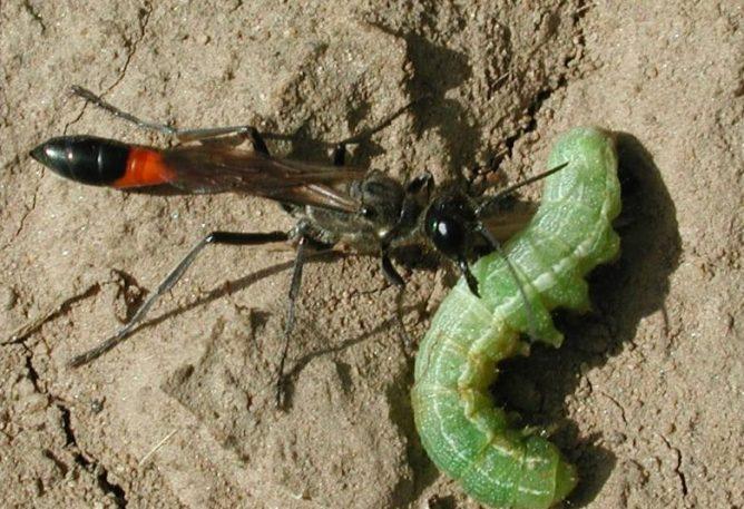 Сфекоидные осы