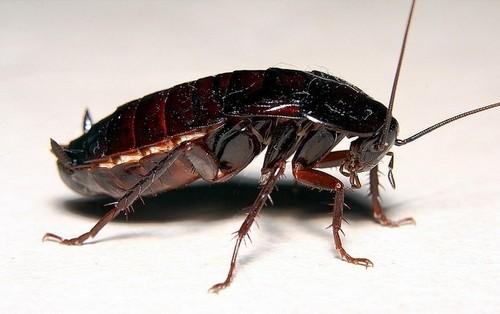 Самец черного таракана