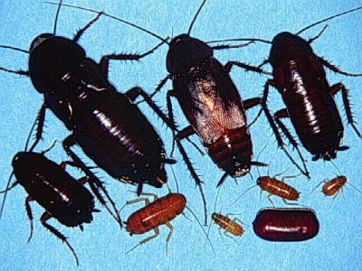 Жизненный цикл черного таракана