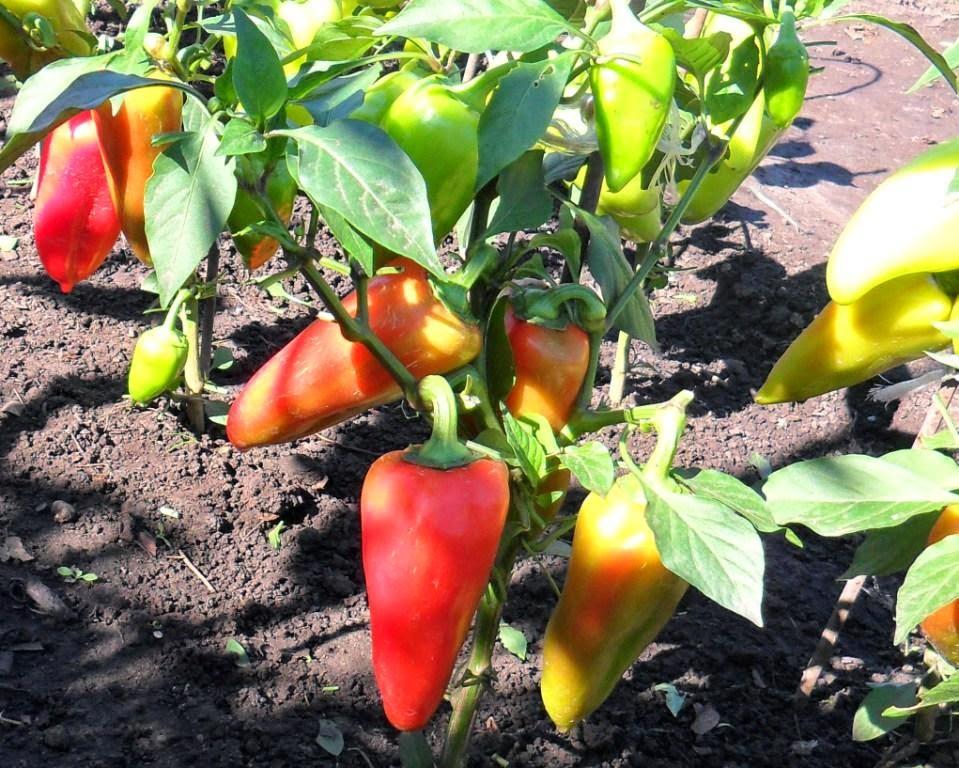 Выращивание болгарского перца советы 55