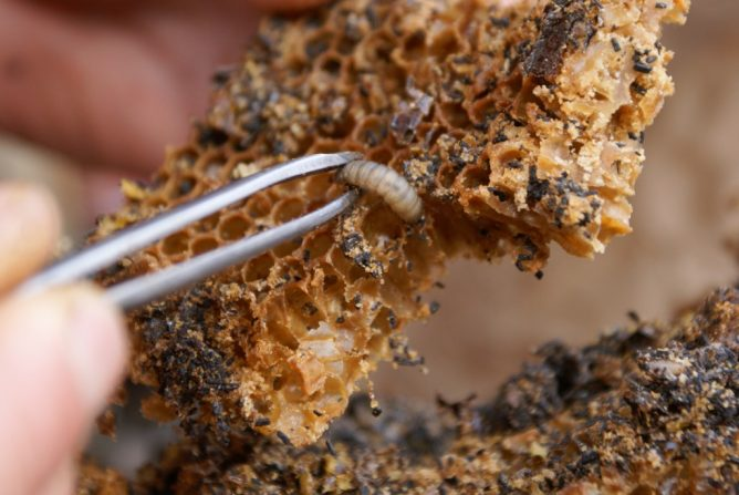 Личинка в улье