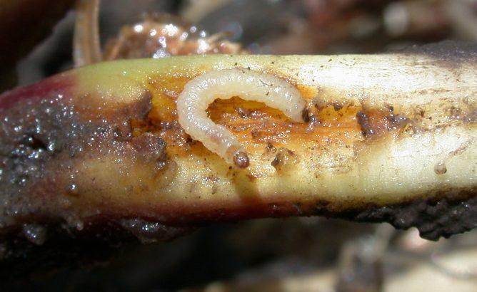 Личинка в растении