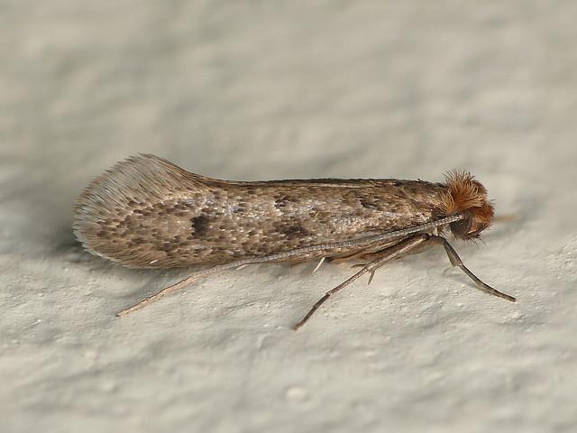 Бабочка моли