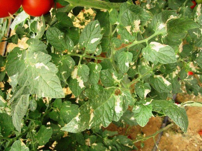 Пораженные растения