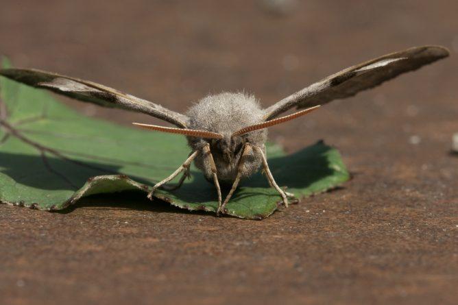 Бабочка бражник тополевый