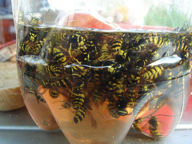 Пойманные осы