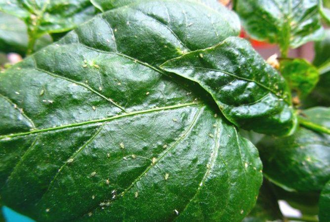 Популяция тли на листьях