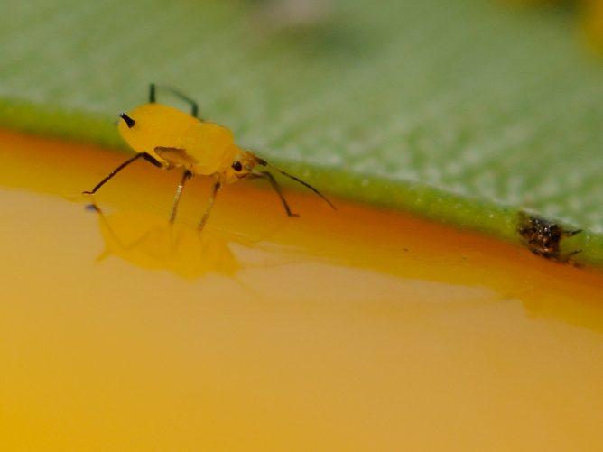 Желтая тля