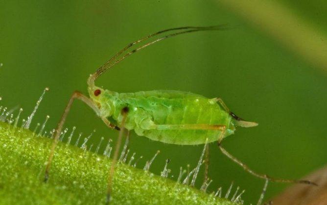 Зеленая тля