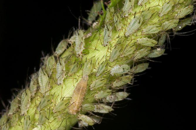 тля на стебле растения