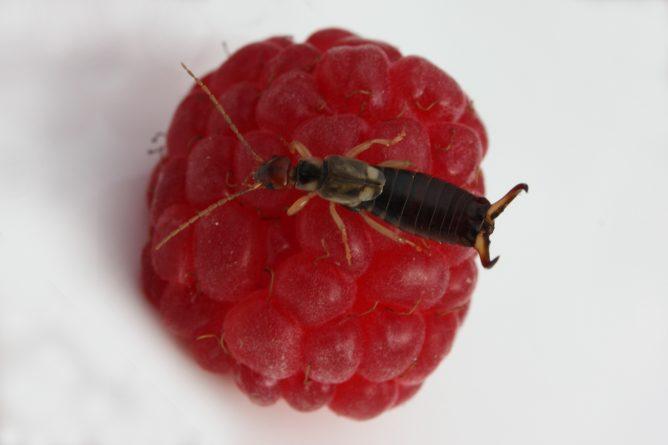 Двухвостка на ягоде