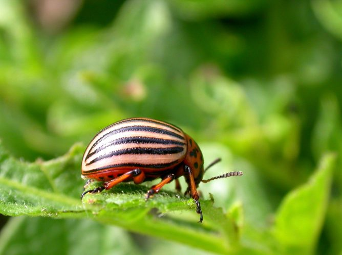 Колорадский жук на листике