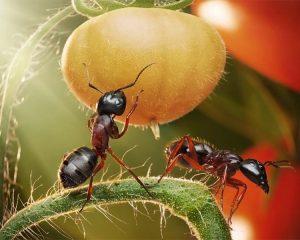 Муравьи едят клубнику что делать