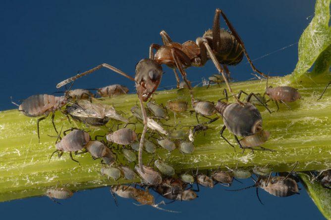 Тля и муравей