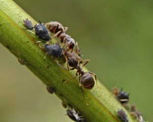 Муравьи и тля на огурцах