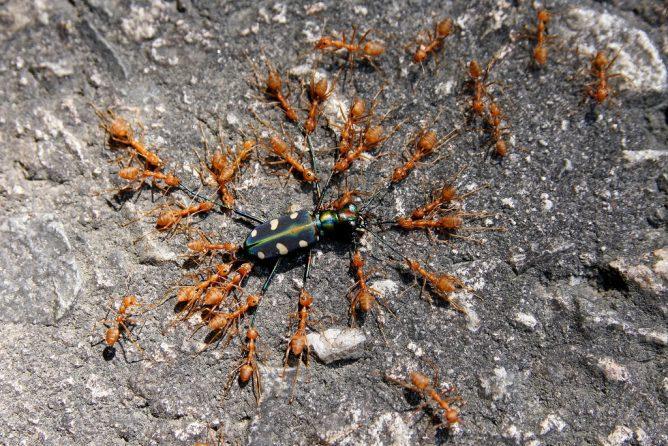 Нападение рыжих муравьев