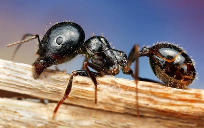 древесный муравей