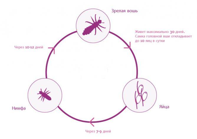 Жизненный цикл вшей