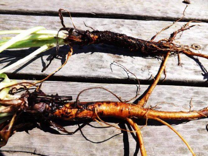 Свежие корни