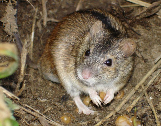 Мышь на даче