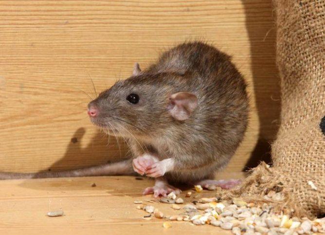 Крыса ест