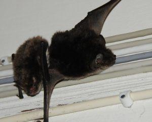 Летучая мышь на балконе