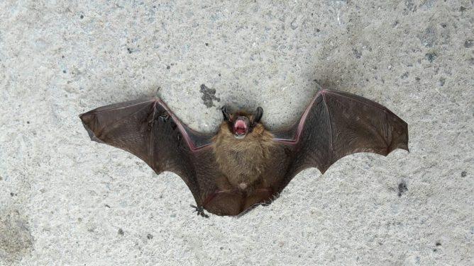 Летучая мышь большая