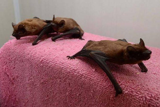 Несколько летучих мышей