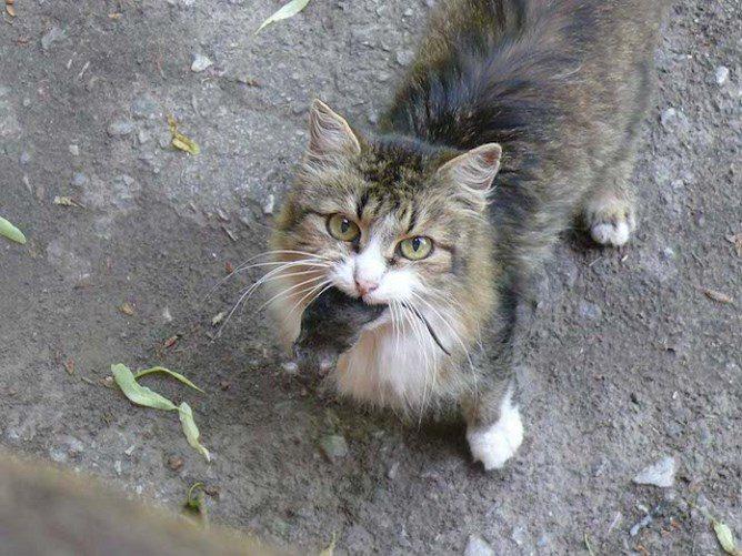 Кошка поймала мышь