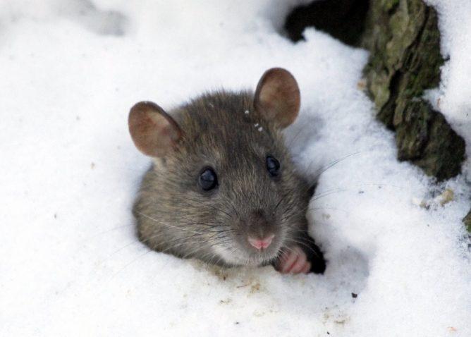 Мышь зимой