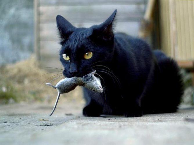 кот ест мышь