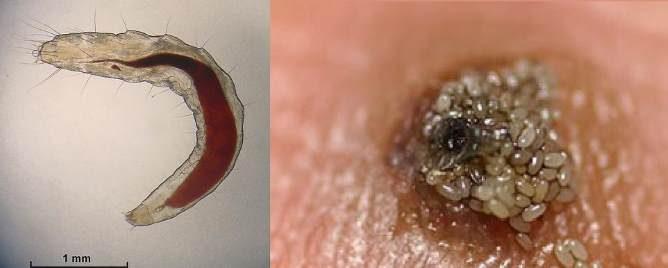 личинки и яйца блох