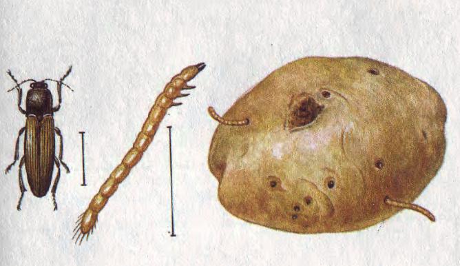 Жук и личинка