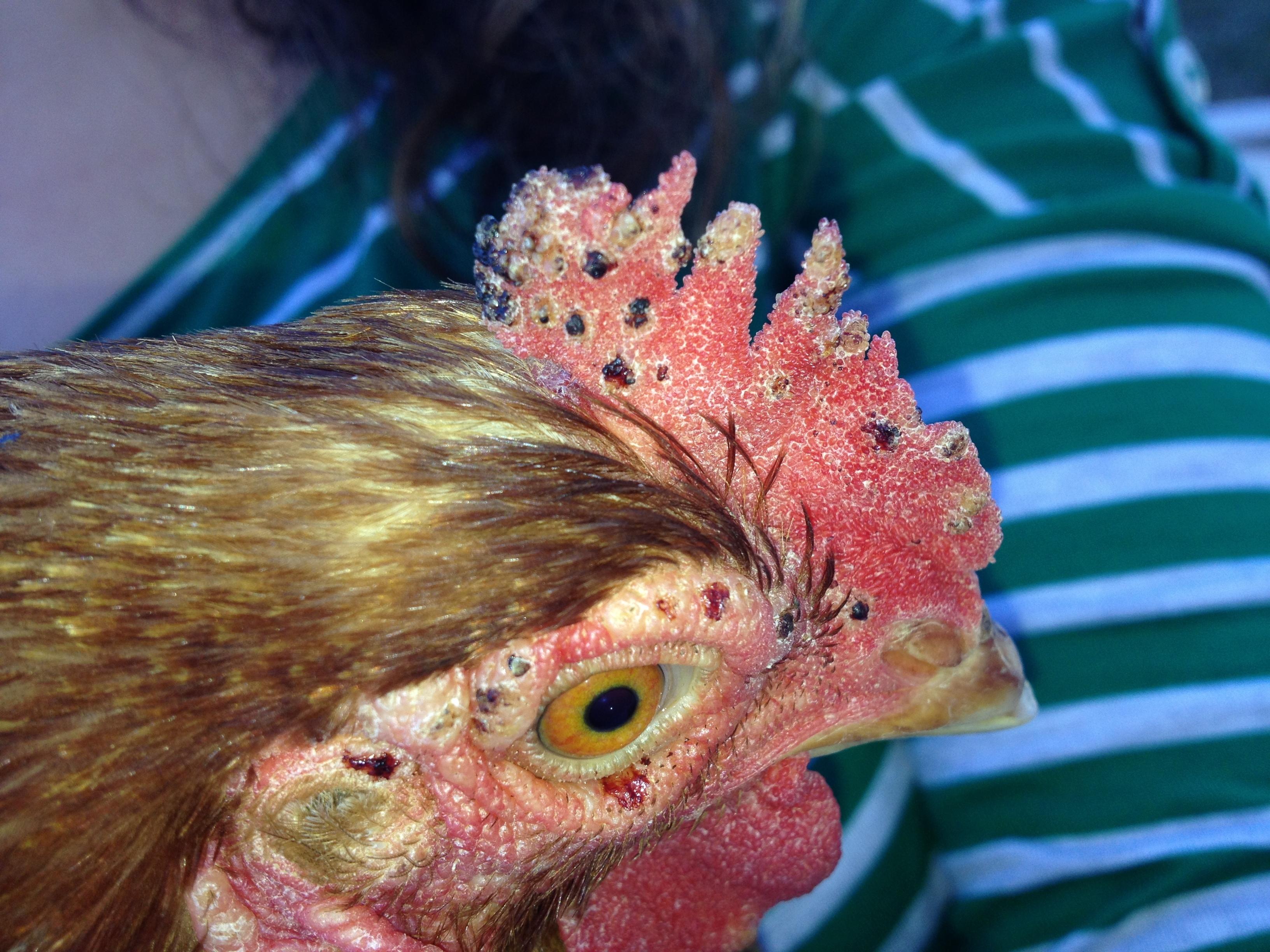 клещ куриный фото