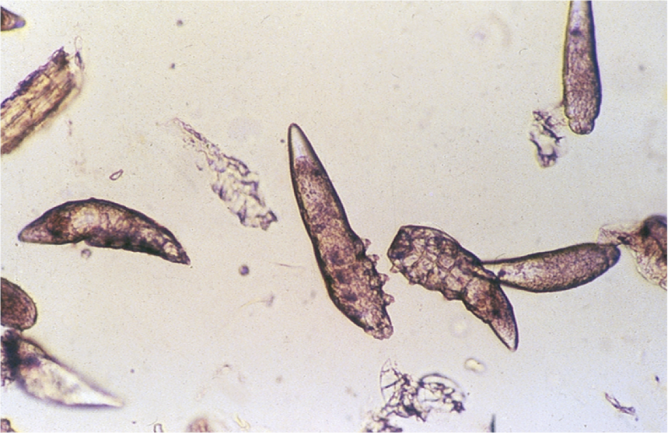 Demodex cati